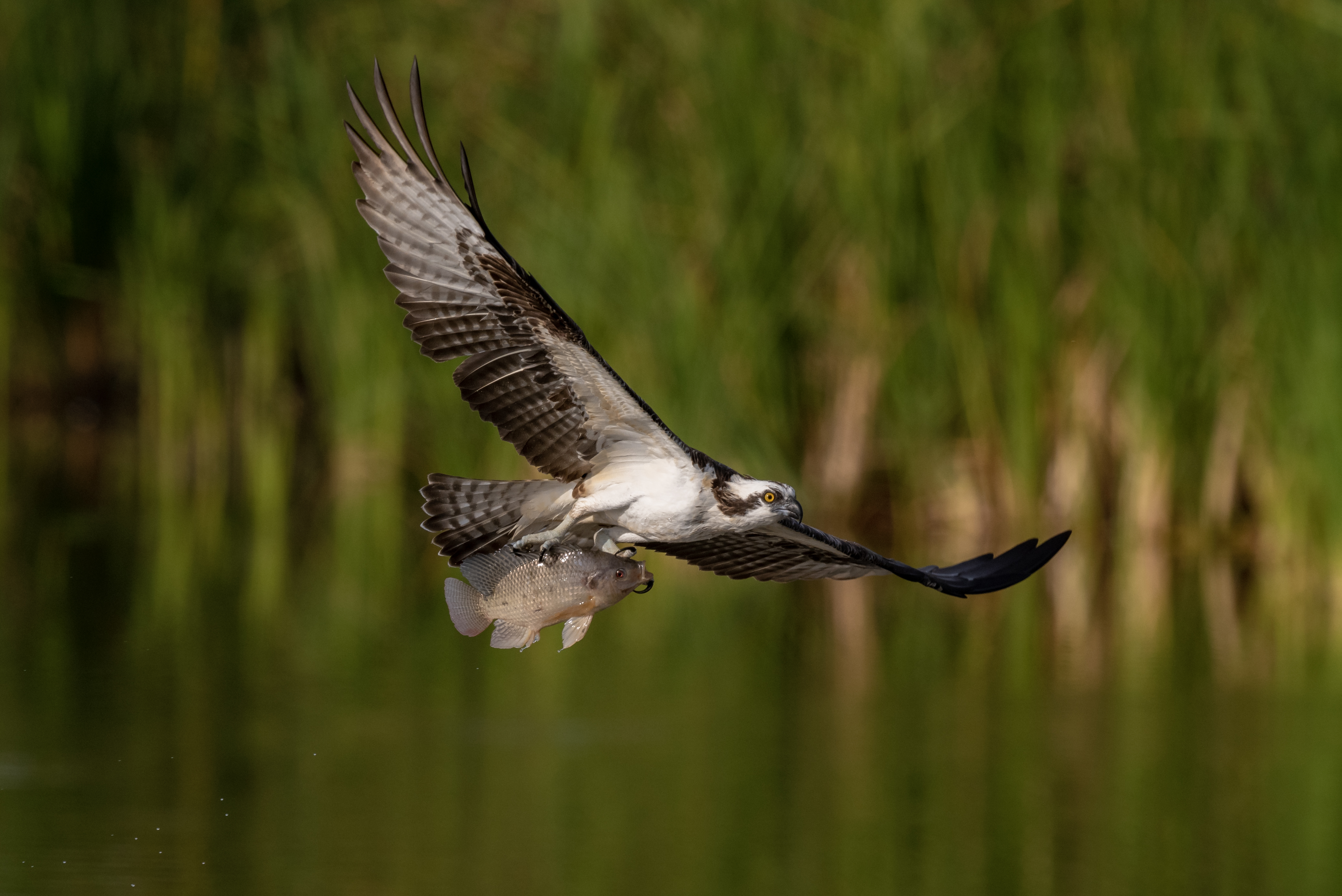 Nikon Z7 vs D850 vs D500 Bird In Flight - Wildlife - Auto